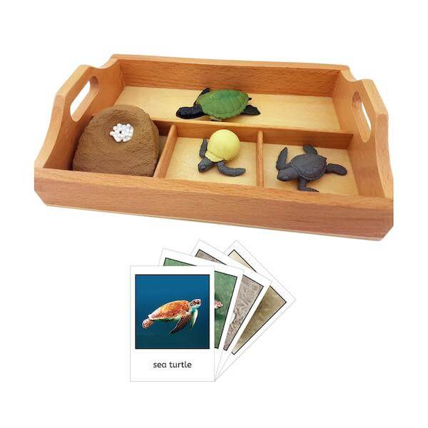 A wooden tray  with educational lifecycle of a turtle materials
