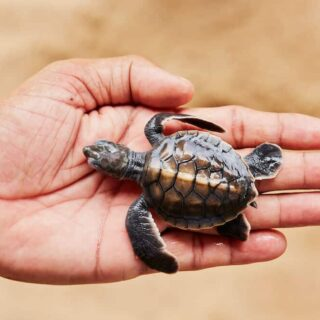 baby turtle in a man's palm